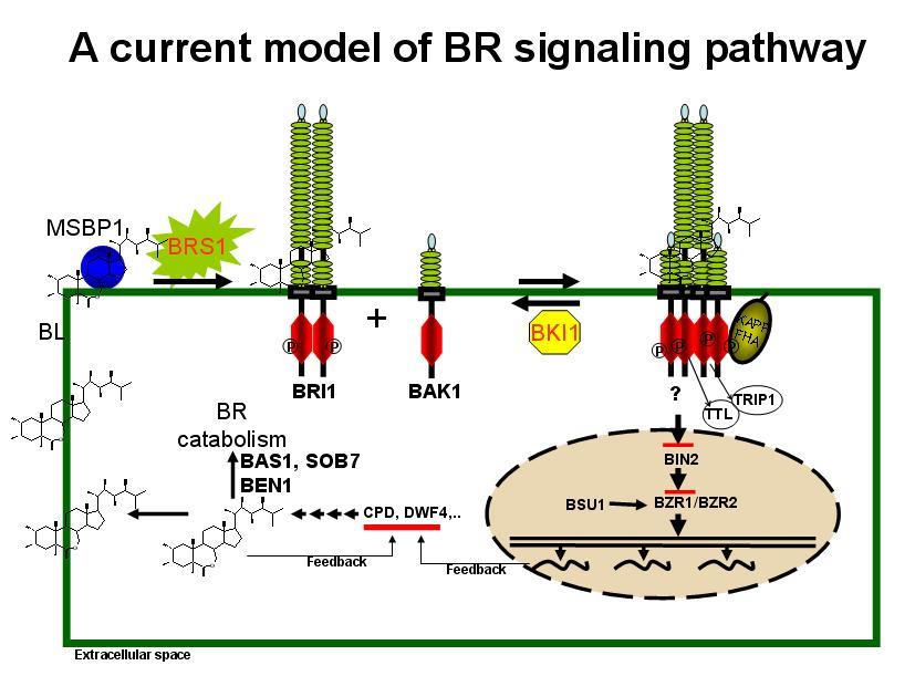 brassinosteroid functions in arabidopsis seed development