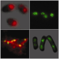 Condensins form clusters on chromosomes of live cells and can induce chromosome condensation