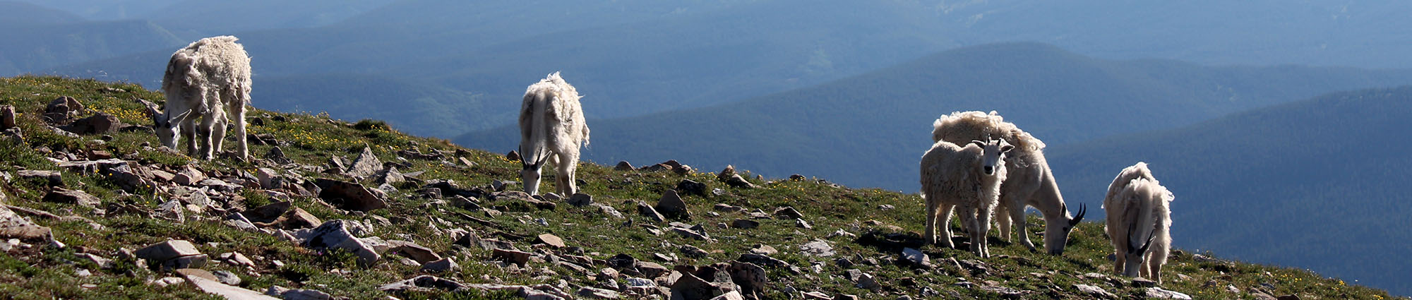 Four white mountain goats graze near the rock-strewn summit of Quandary Peak in Colorado – the highest peak in the Tenmile Range in the Rocky Mountains.  The mountain range in the background of the photo looks like an ocean of blue waves.