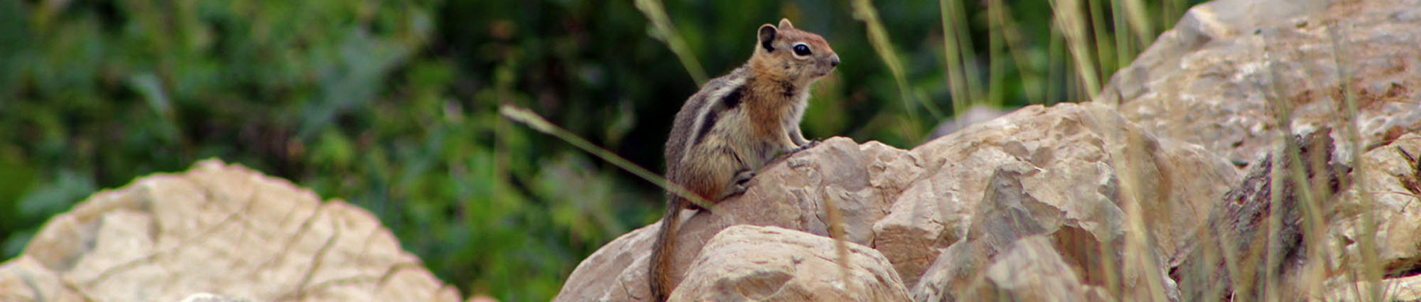 A chipmunk sits on rocks in the foreground, surrounded by a green forest.