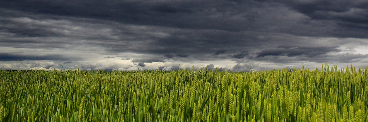 summer storm clouds over wheat field