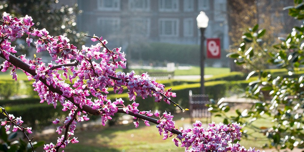 Redbud branch in bloom on OU campus